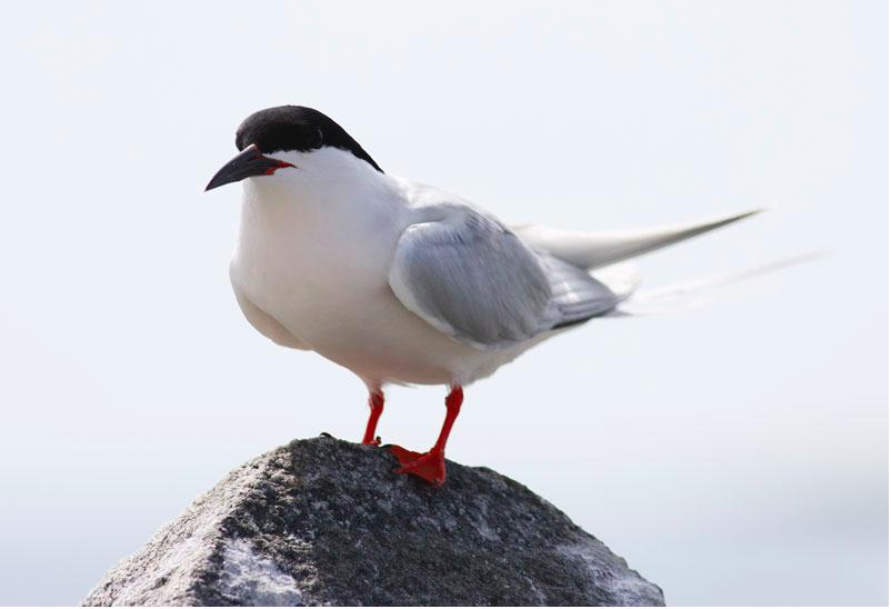 Flora - Roseate Tern.png