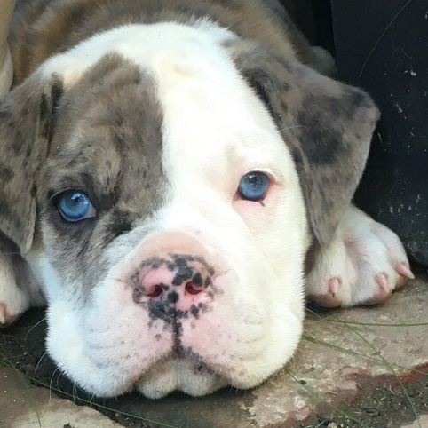 Jds Bullys Old English Bulldog Puppies For Sale And Pet Services At