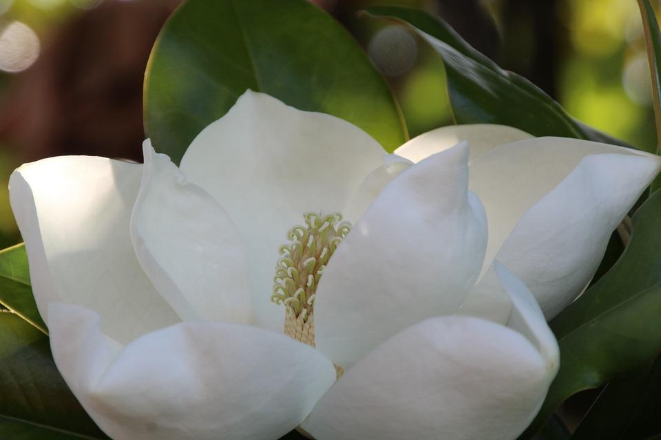 magnolia-2388071_960_720.jpg