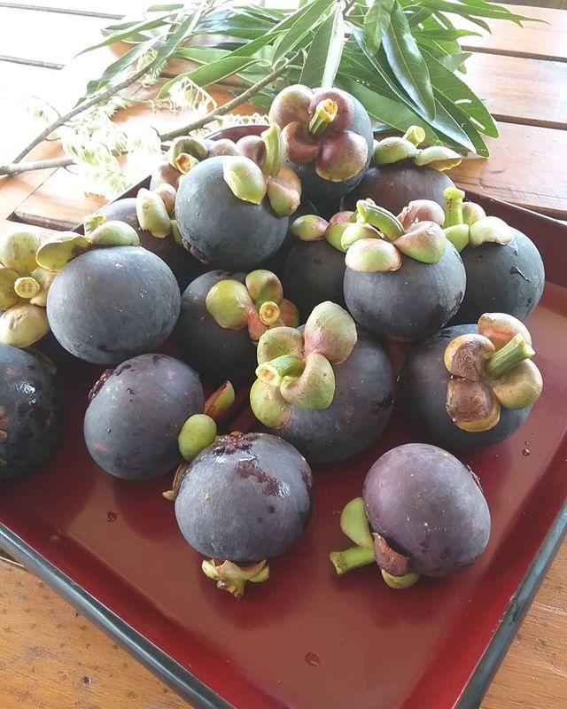 Treats for our guests #mangosteens #wompoo Eco Retreat #Daintree Marketing Cooperative #Port Douglas Daintree Tourism #tropical fruit #wet season