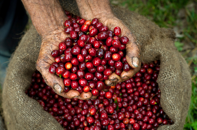 Handfull-Of-Coffee-Cherries-Coffee-Farm-El-Salvador.jpg
