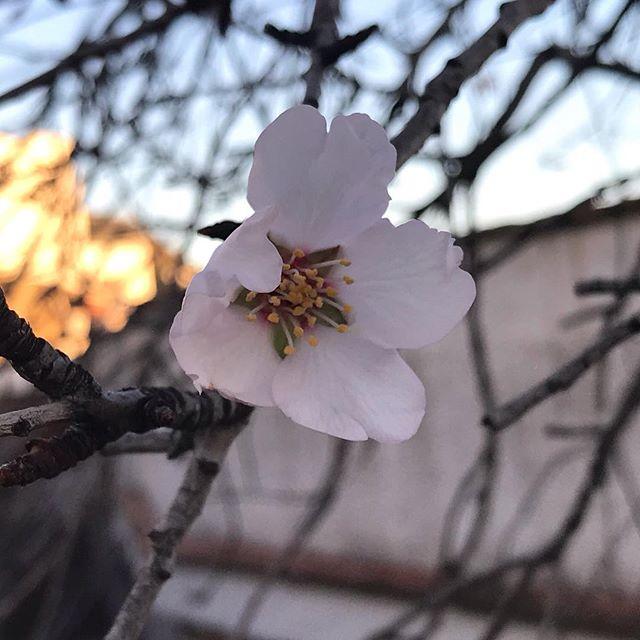 Blossoming... #blossoming #restartexperientialanatomy #yoga #yogadaily #exploringyogaineverydaylife #anatomy #anatomynerd #somatic #nature