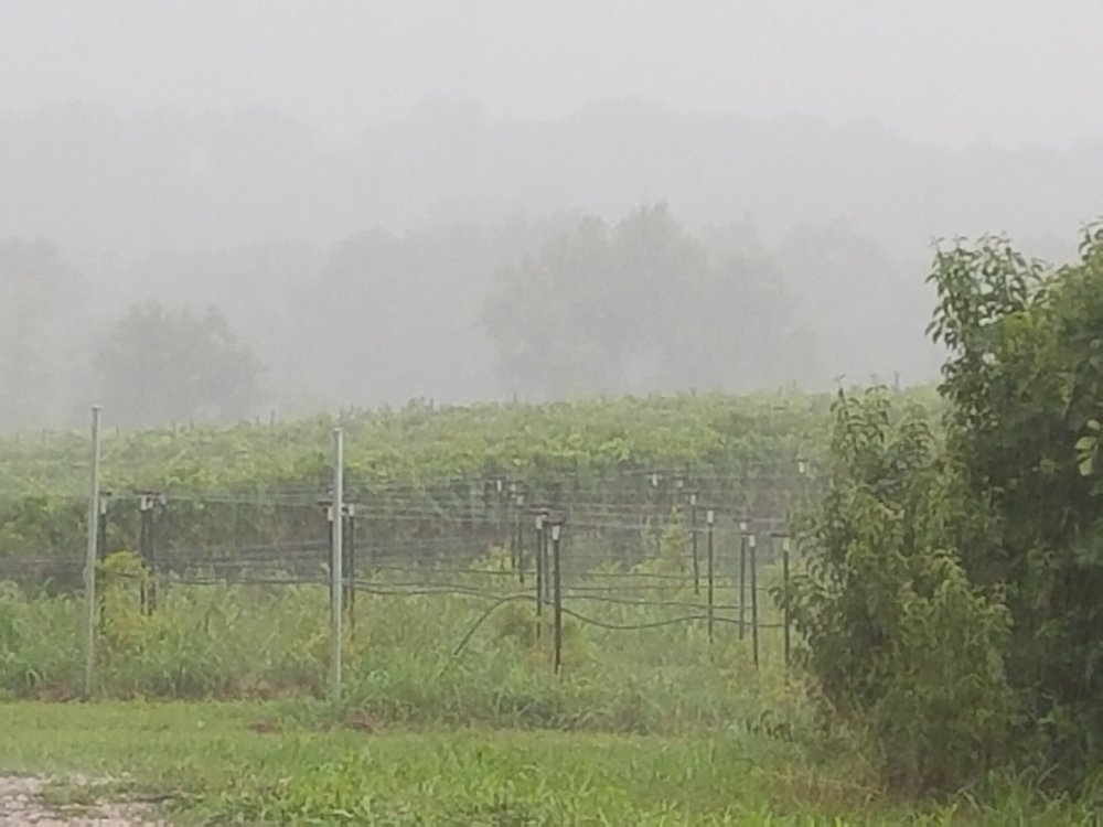 A heavy rain descended on the Vox vines.