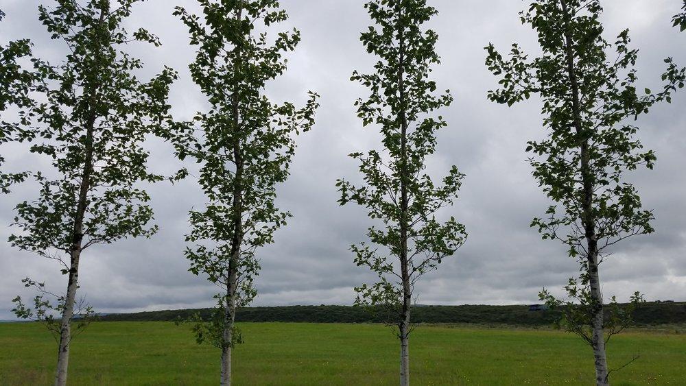 Birch trees, Iceland