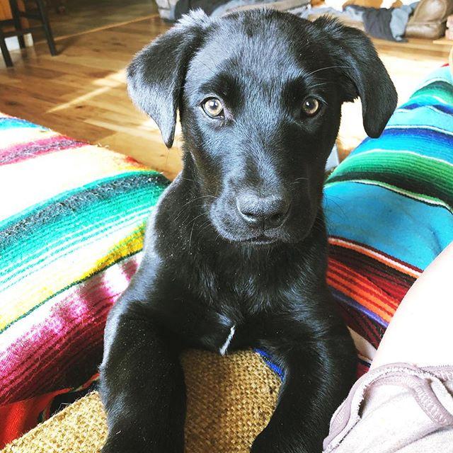 Good morning Puppy ☀️ #adoptdontshop #blacklab #bordercollie