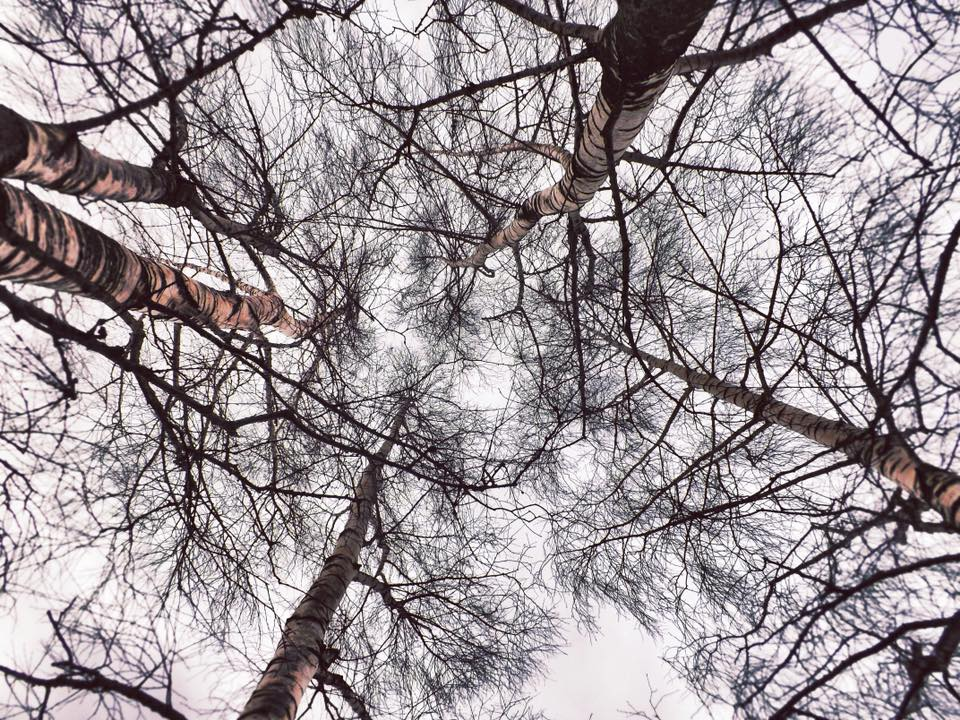 inside the birches, looking up