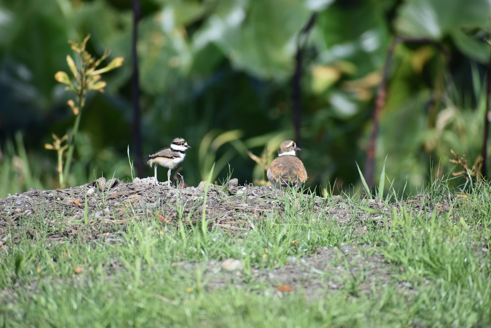 momma and baby Killdeer on the slough bank