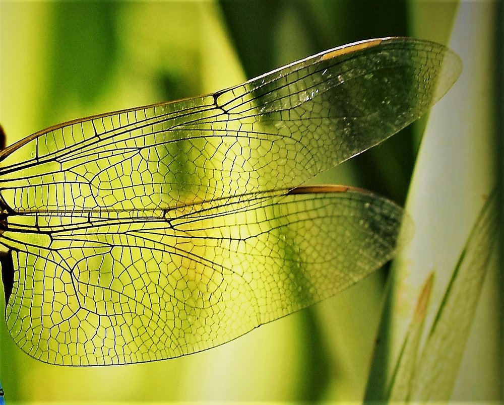 dragonfly wings, they are always around in the summer