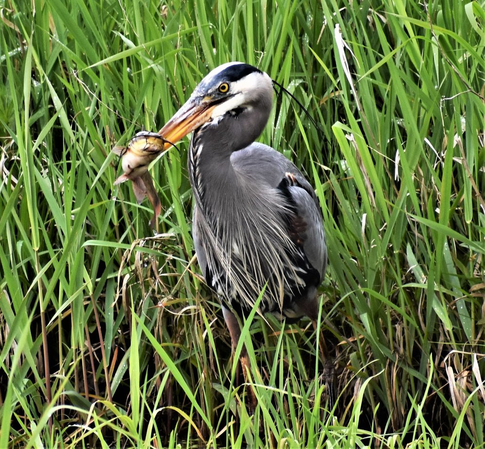a Great Blue Heron catching a Catfish in the slough