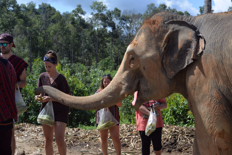 At Elephant Sanctuaries like Elephant Jungle Sanctuary in Chiang Mai & Phuket, you get to feed and bathe elephants, and all profits go to caring for these beautiful beasts!