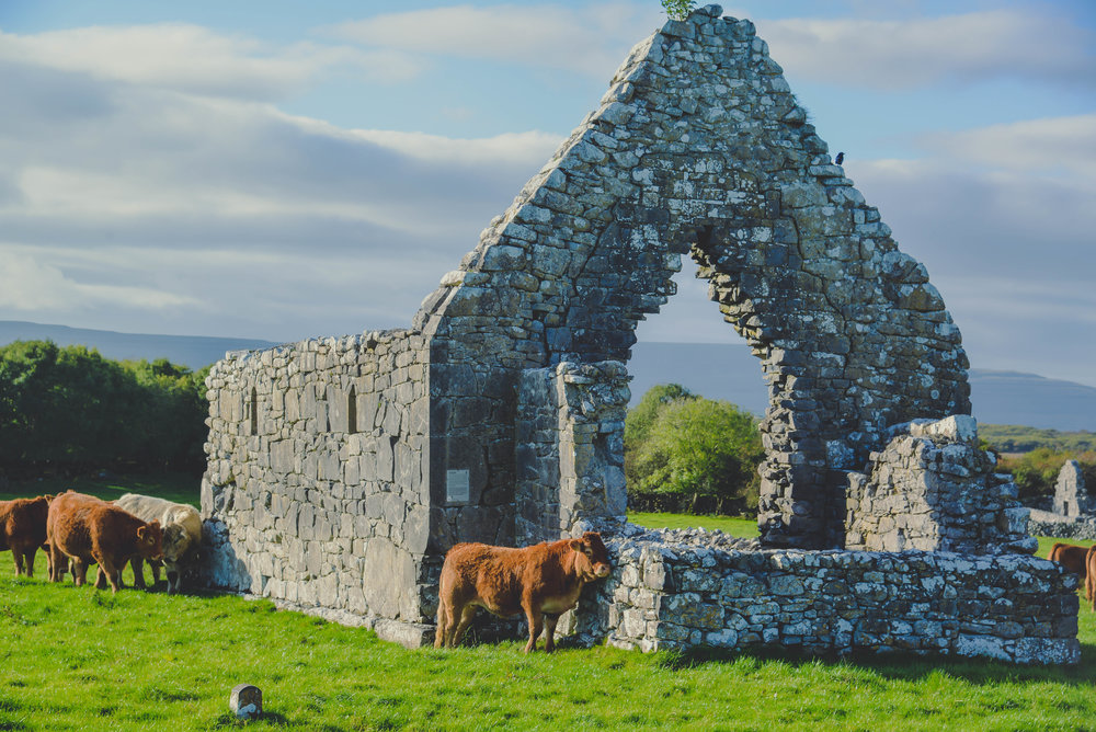 Cows and castle ruins are two common things you will encounter while driving through Ireland!