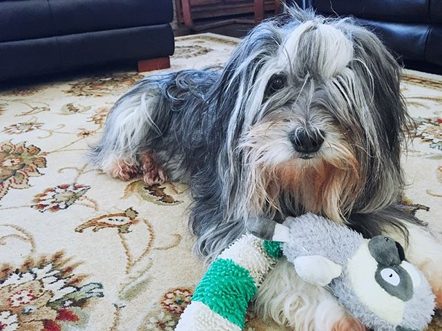 I like spending time with this goofball. // #dogsofinstagram #polishlowlandsheepdog #dog🐶