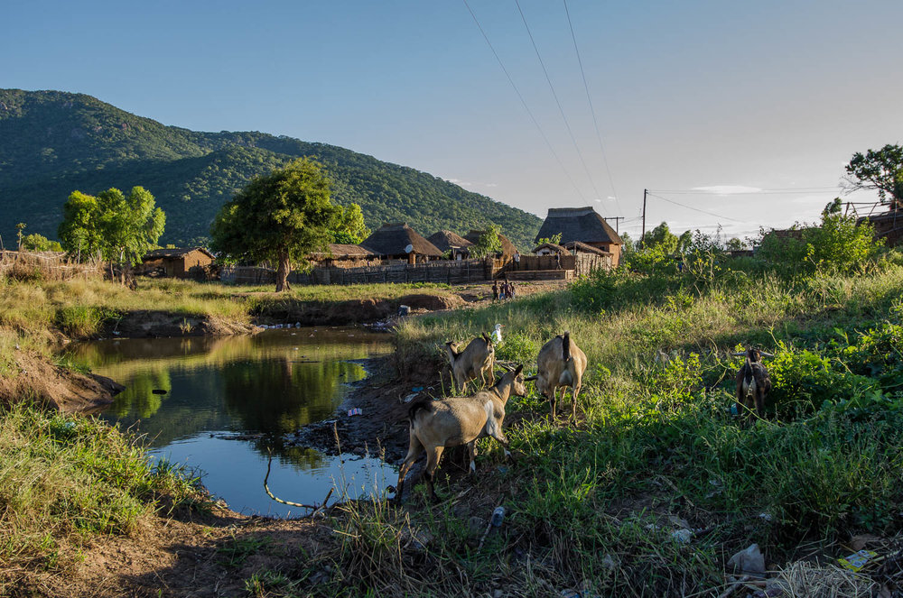 Animals graze near water source in Chembe Village on Lake Malawi, 2011. Image credit: Sheridan Jones McCrae ©