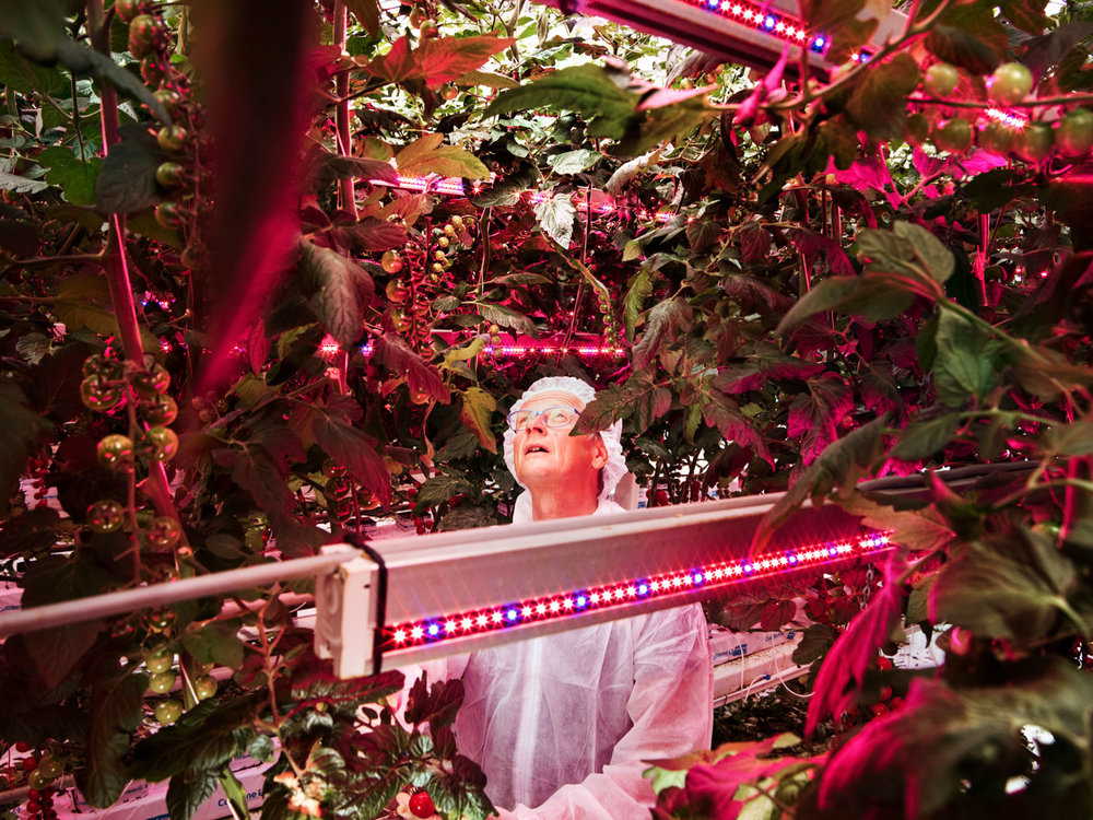 Do tomatoes grow best when bathed in LED light from above, beside, or some combination? Plant scientist Henk Kalkman is seeking the answer at the Delphy Improvement Centre in Bleiswijk. Collaboration between academics and entrepreneurs is a key driver of Dutch innovation.