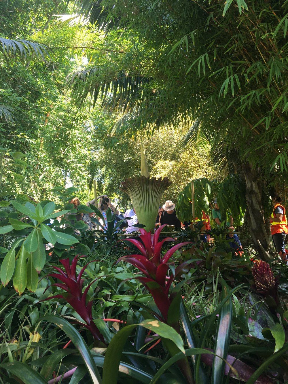 Back View of Corpse Flower with Crowd of Admirers in the Background -San Diego Botanic Garden - Encinitas, California - September 2017
