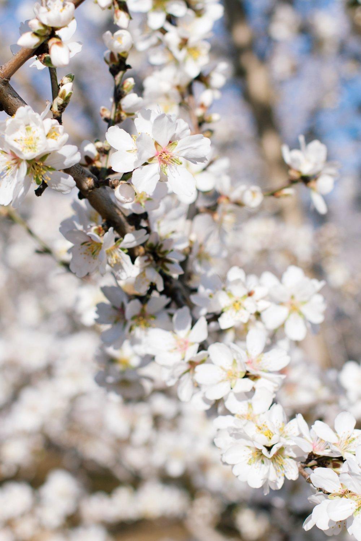 tami faulkner design almond blossoms
