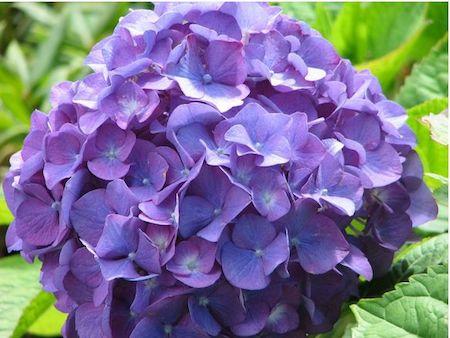 cut hydrangea flowers in purple in close up picture-2.JPG