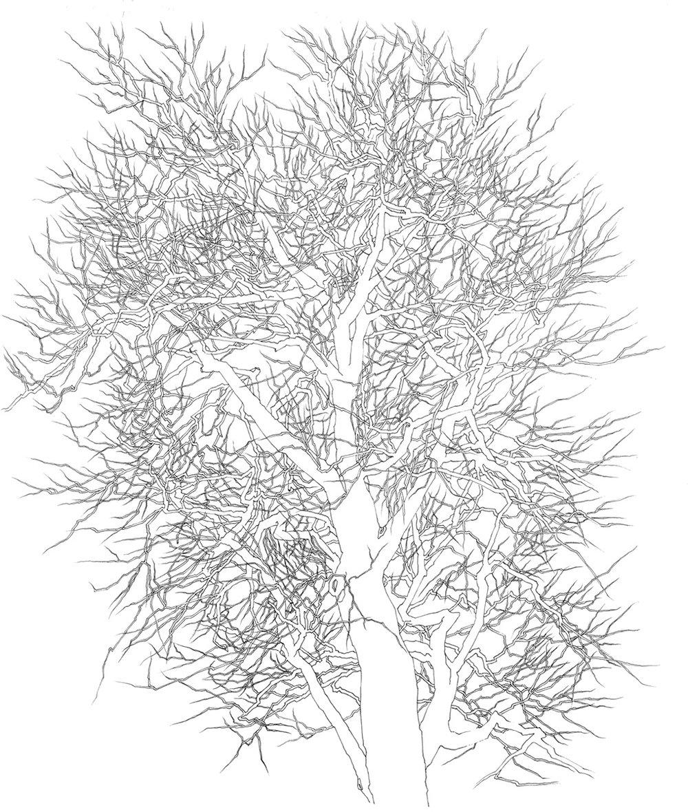 41 Tree 1995.jpg