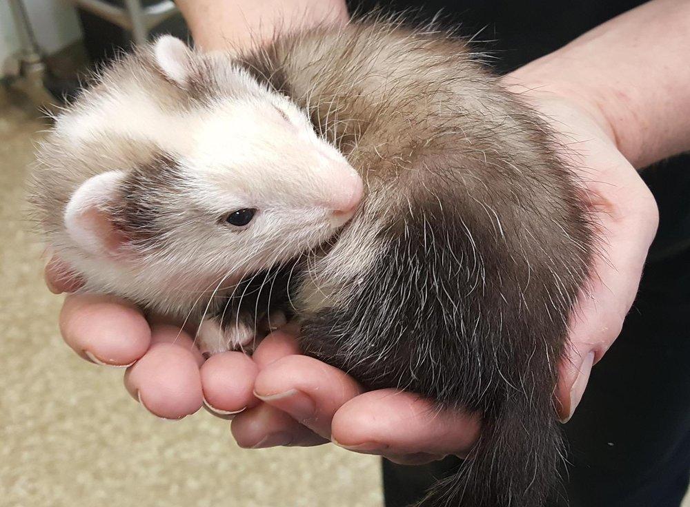 A baby ferret