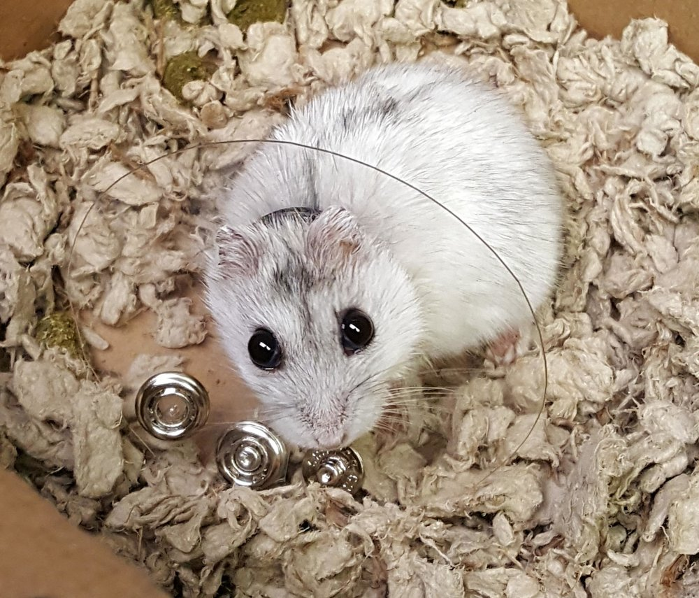 A hamster in an E-collar