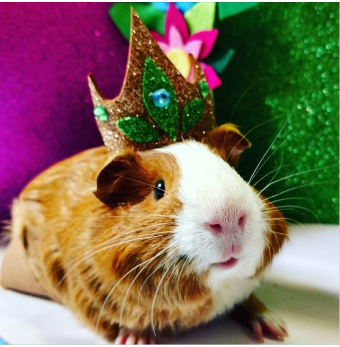 Even guinea pigs like to look pretty!