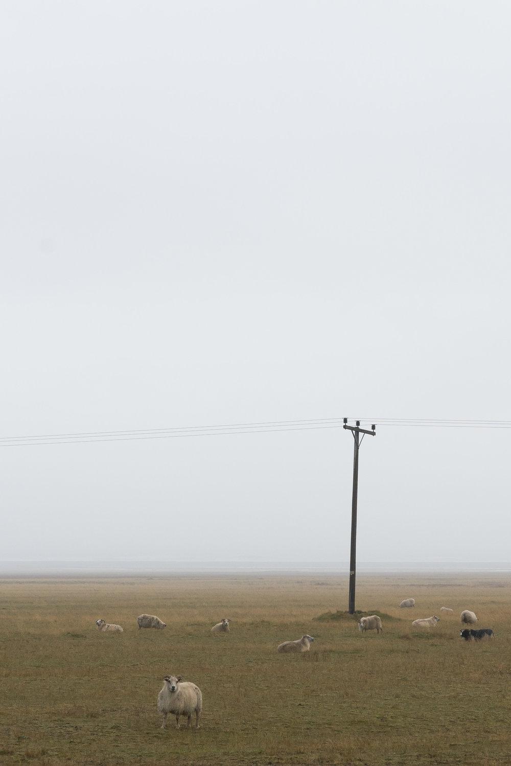 iceland_sheep-1.jpg