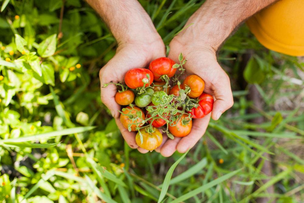 Moksa-tomato.jpg