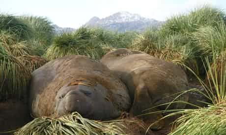 There are epic landscapes and then there are epic snoozes. These male elephant seals have turned epic snoozes into an art form, while still managing to belch and gurgle almost continuously at the same time. Photograph: Helen Czerski