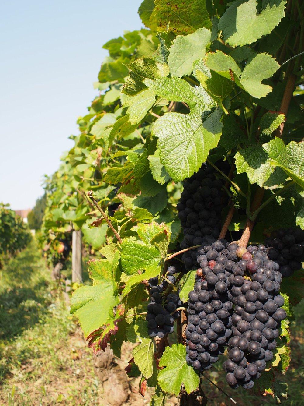 Pinot in Vosne-Romanée