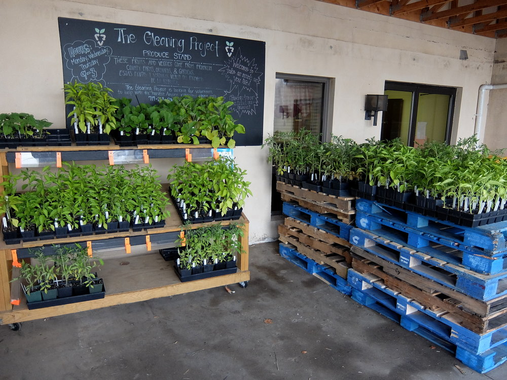 Transplants gleaned from the Master Gardener plant sale for distribution at the SCCAP Produce Stand in Chambersburg