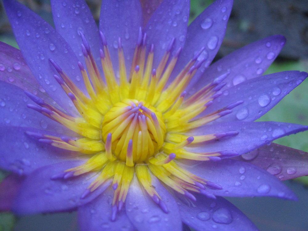 JulietteVulliez_Nevis Water Lily.jpg