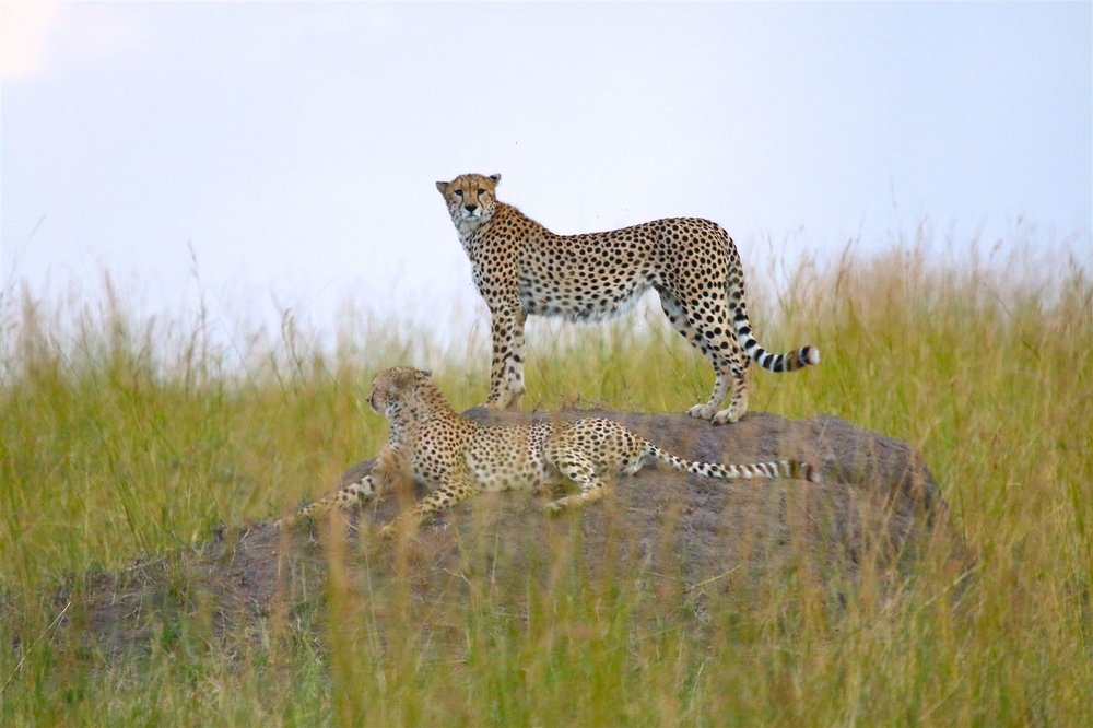 Jeff Campbell_Cheetahs, Serengeti National Park, Tanzania_resized.jpg