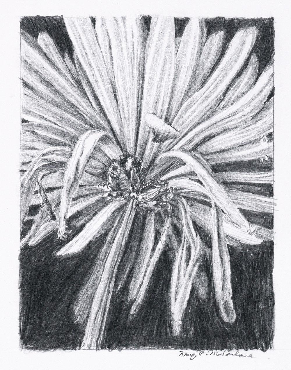 Tired chrysanthemum