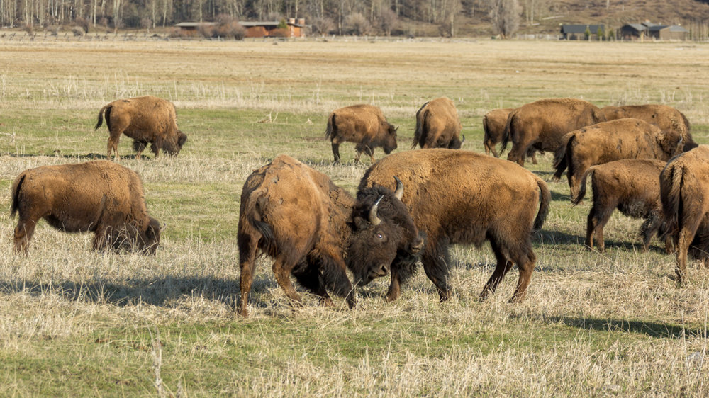 A little bison horseplay on the side of the road.