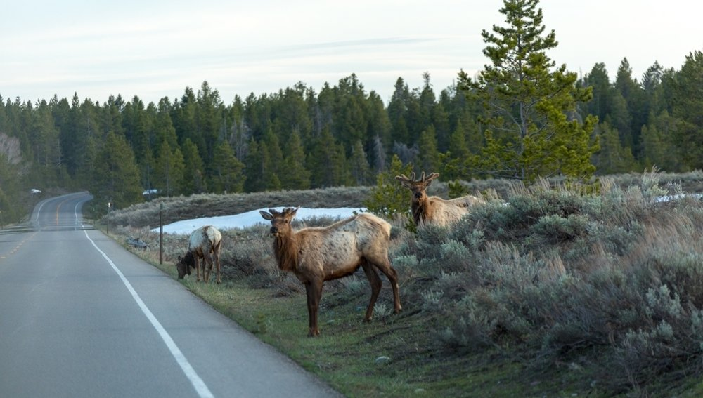 The elk are on the move this time of year.