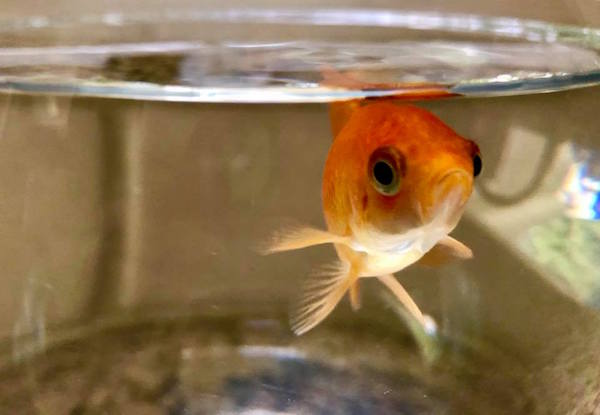Tony the Goldfish, carni-fish, unconditional love