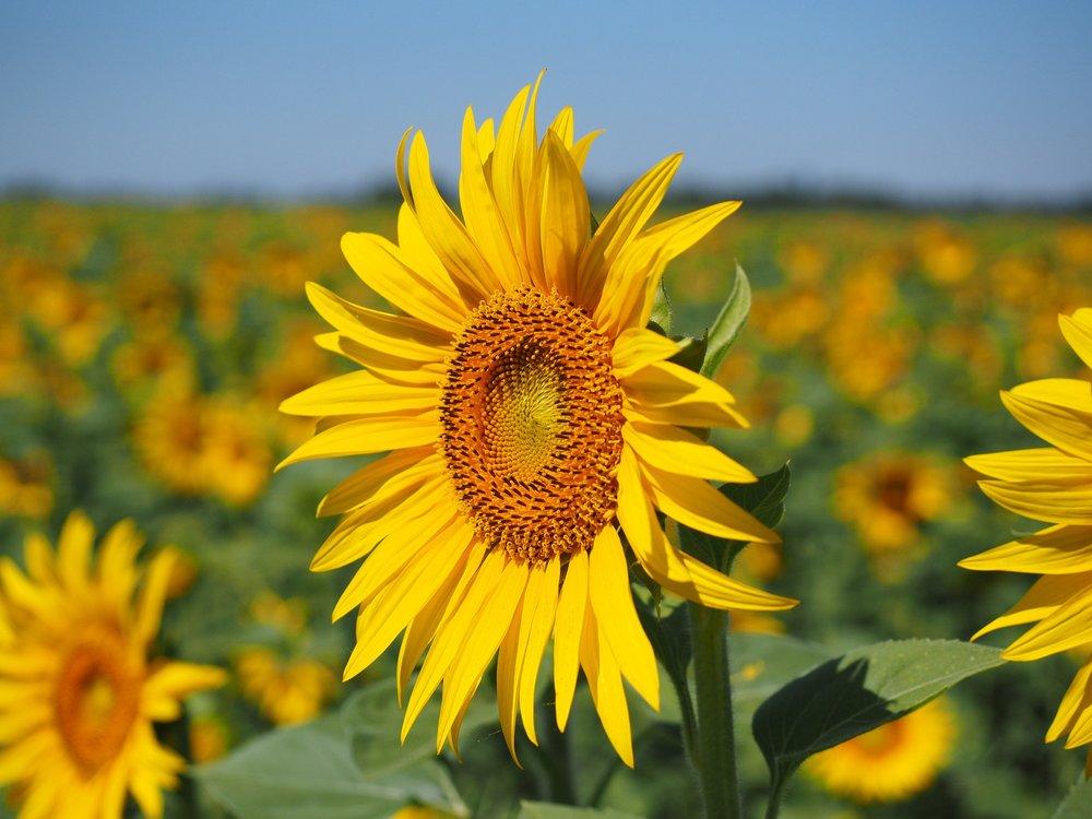 sun-flower-1521864_1920.jpg