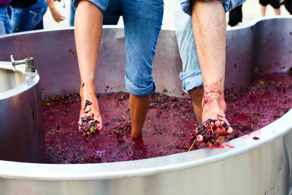 Summerset Winery Harvest grape stomping EMAN PHOTO.jpg