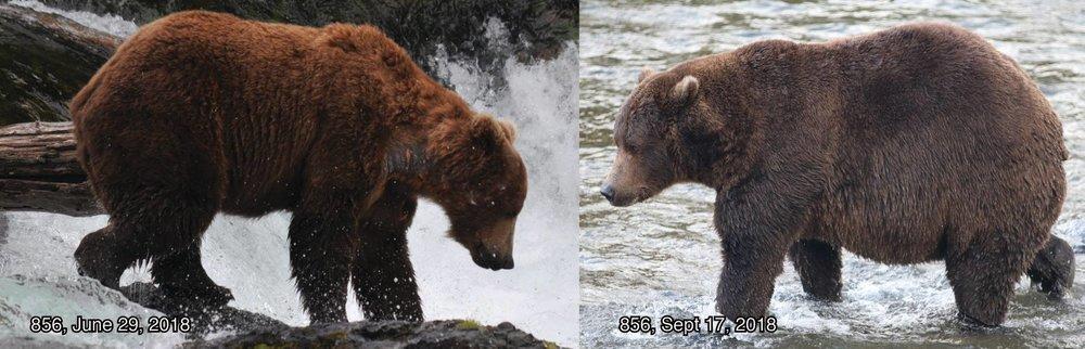 Bear 856 - Photo courtesy of Katmai National Park and Preserve