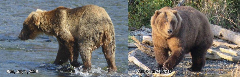Bear 854 - Photo courtesy of Katmai National Park and Preserve