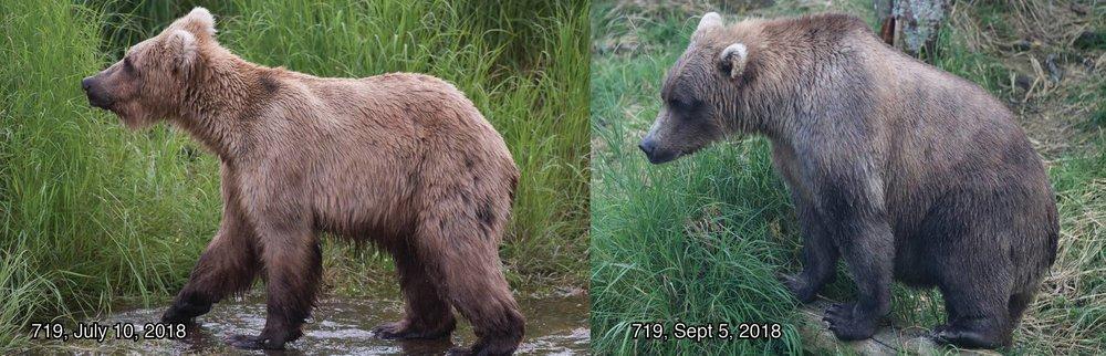 Bear 719 - Photo courtesy of Katmai National Park and Preserve
