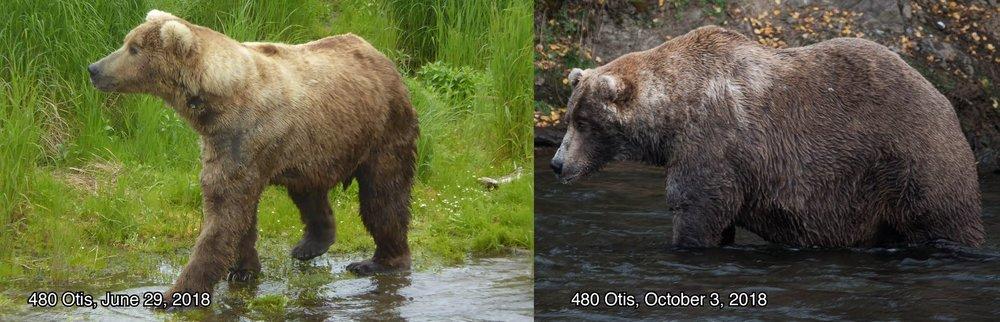 "Bear 480, ""Otis"" - Photo courtesy of Katmai National Park and Preserve"
