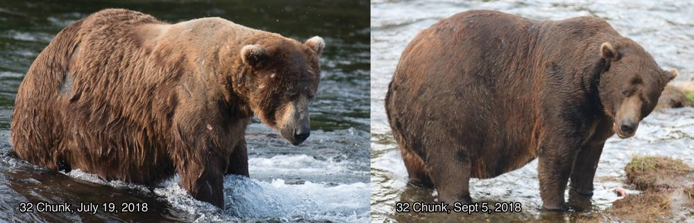 "Bear 32, ""Chunk"" - Photo courtesy of Katmai National Park and Preserve"