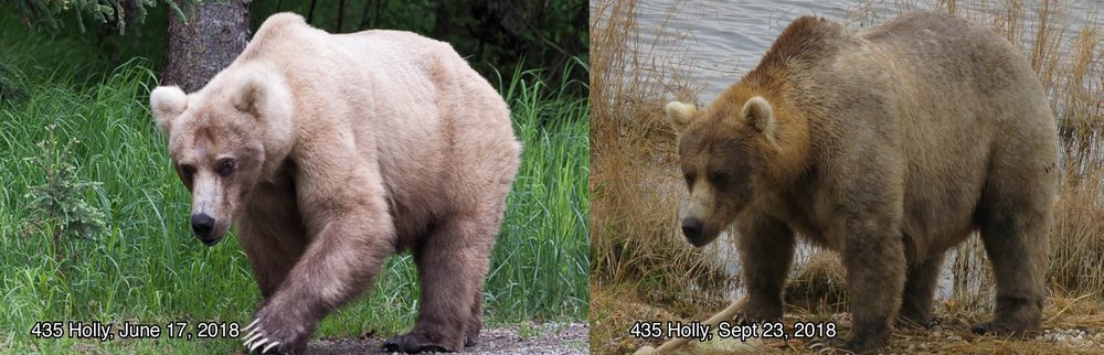"Bear 435, ""Holly"" - Photo courtesy of Katmai National Park and Preserve"