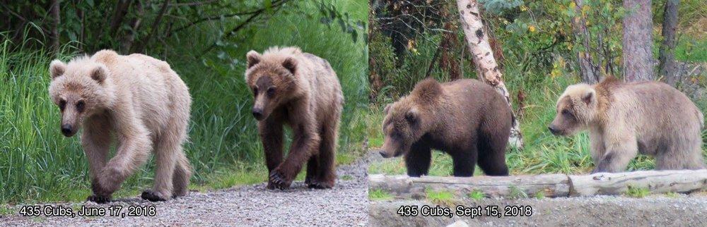 Bear 435, Holly's Cubs - Photo courtesy of Katmai National Park and Preserve