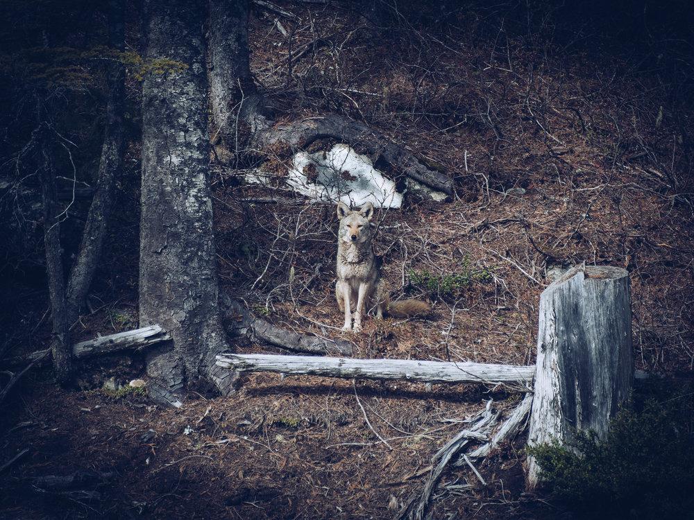 Coyote III-1.jpg