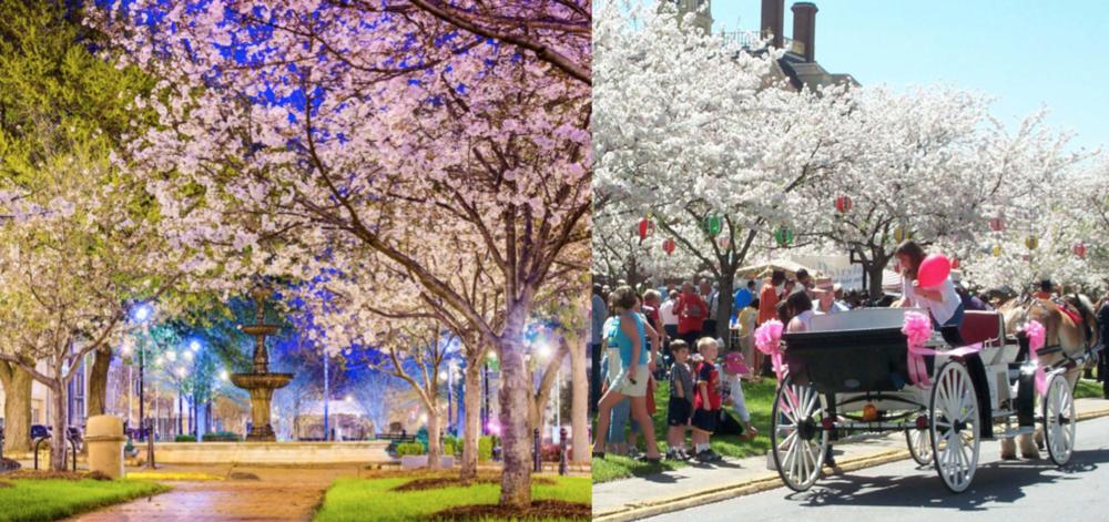 Georgia Cherry Blossom Composite.png