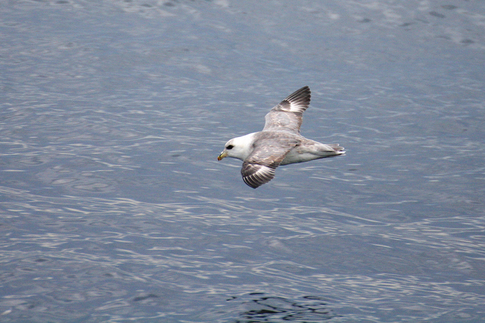 A Northern Fulmar flying by.Photo credit: Catherine Pham