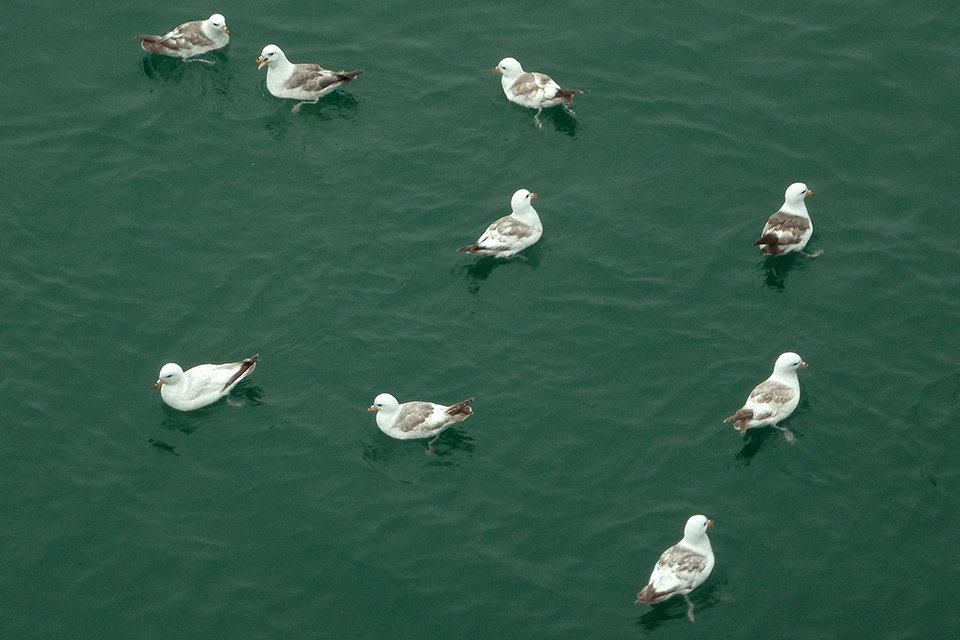Northern Fulmars milling around the R/V  Sikuliaq  while on station. Photo credit: Catherine Pham