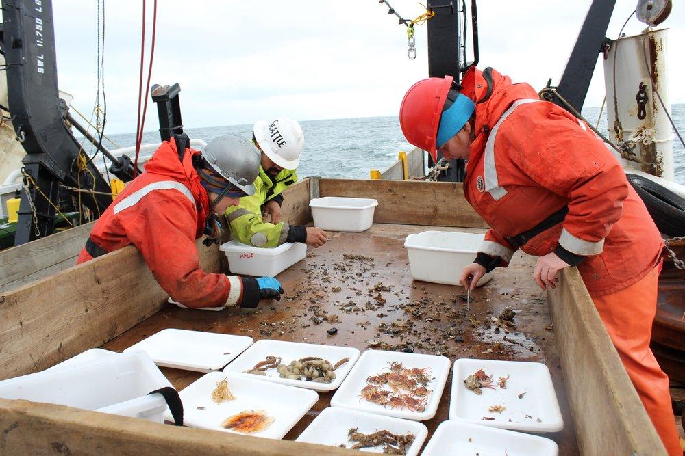 Sorting the invertebrates caught in the beam trawl. Left to right: Catherine Berchok, Armando Urrutia, and Nissa Ferm. Photo credit: Harmony Wayner